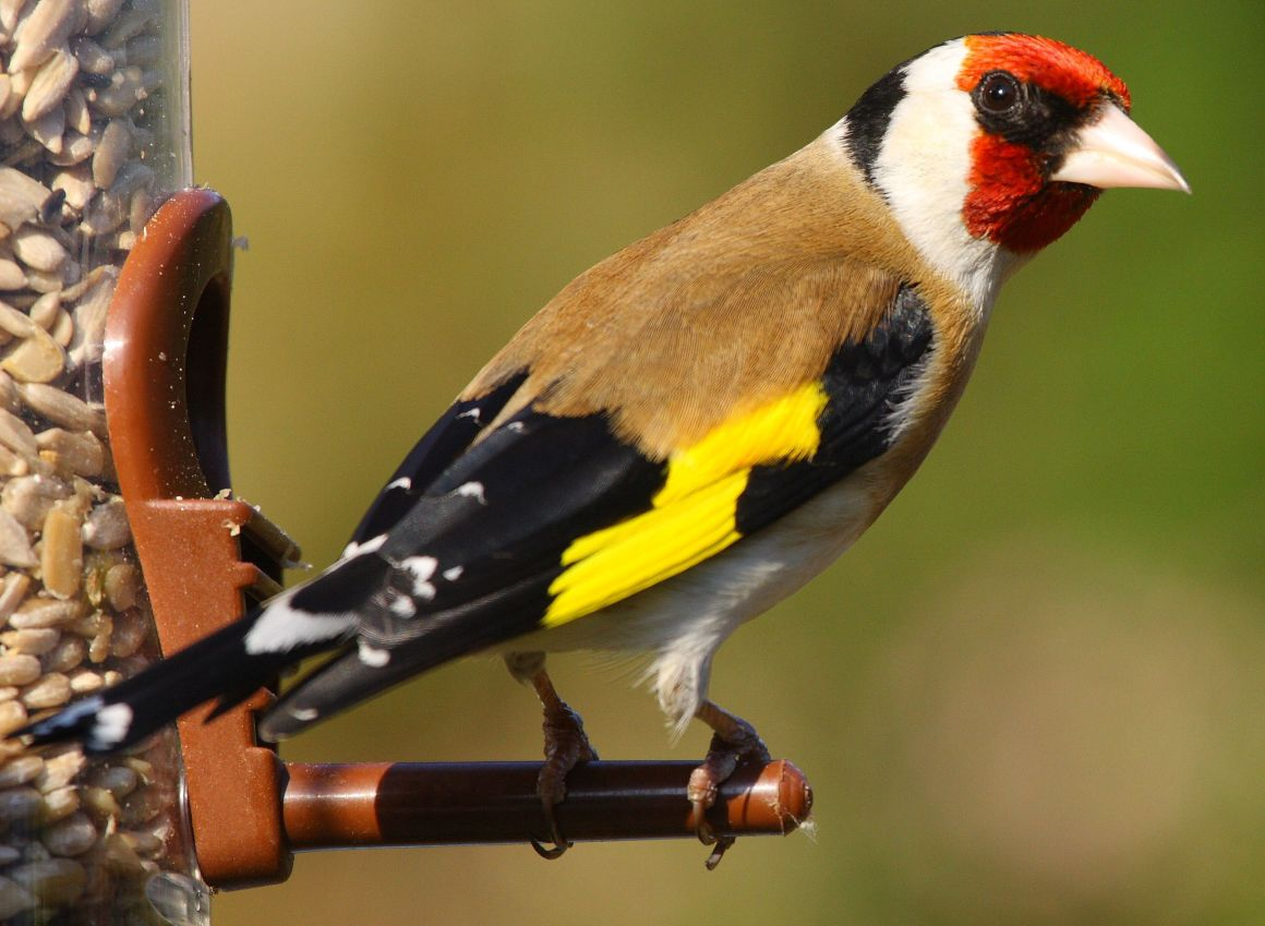 Goldfinch Bird of the year 2017 Hungary